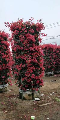 福建漳州龙海市同安红三角梅 2.5米~3米