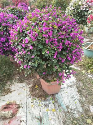 福建漳州龙海市紫花三角梅 0.5~1.0米