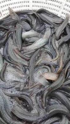 安徽芜湖弋江区台湾泥鳅 10-15cm 人工养殖