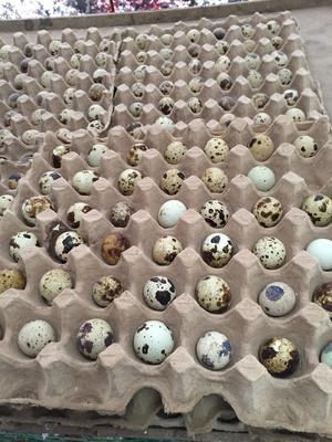 河南省信阳市固始县沙维麦脱肉鹌鹑种蛋 孵化 箱装