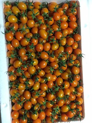 福建漳州龙海市黄樱桃番茄