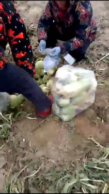河南省开封市通许县青皮萝卜 1~1.5斤