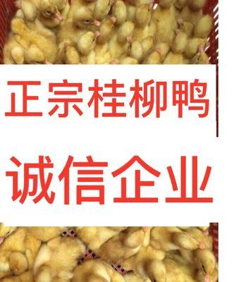 广西南宁西乡塘区桂柳鸭苗