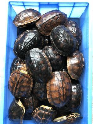 广东佛山顺德区石龟 50cm以上 1-1.5斤