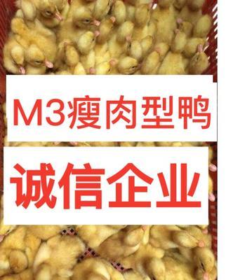 广西南宁西乡塘区M3瘦肉型白鸭