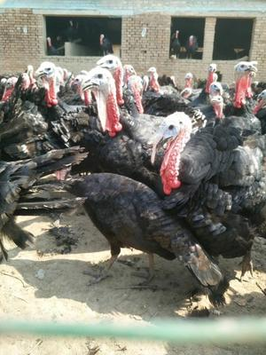 河南商丘永城市贝蒂纳火鸡 10-15斤
