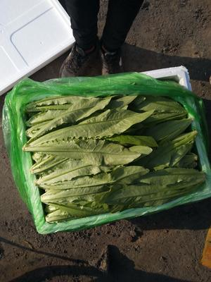 河北省邯郸市永年县美冠油麦菜 25~30cm以上