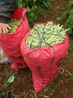 广东湛江雷州市白花四季豆 20cm以上