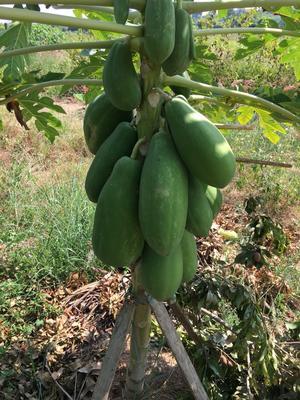 广东湛江吴川市红心木瓜 1 - 1.5斤
