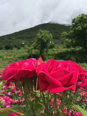 云南昆明西山区玫瑰食用鲜花加工饼