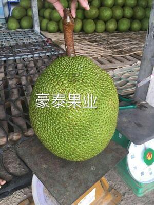 云南西双版纳景洪市泰国菠萝蜜 10-15斤