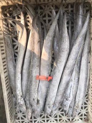 山东日照东港区胶东带鱼 野生 0.5公斤以下