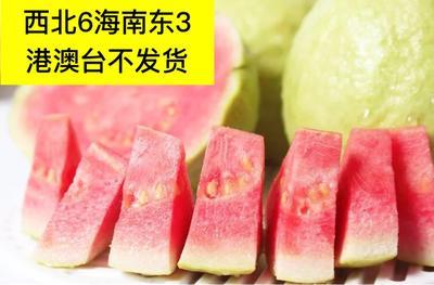 浙江台州黄岩区红心芭乐 200-250克