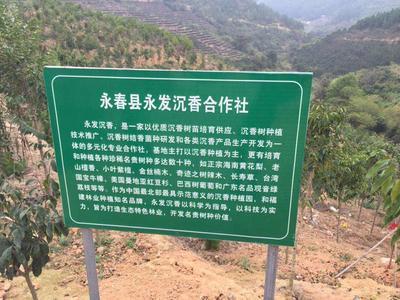 福建泉州永春县奇楠沉香树
