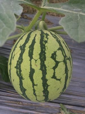 海南海口美兰区8424西瓜 有籽 1茬 9成熟 8斤打底