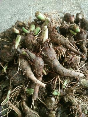 广西桂林荔浦县芋头种子 1cm以上