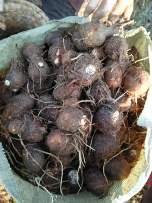 广东广州白云区红芽芋头 3cm以上