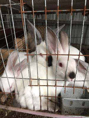 广东肇庆广宁县伊拉肉兔 1个月 冷冻