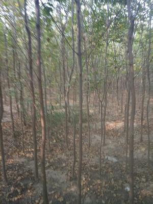 河北沧州沧县老式白蜡 2~2.5米