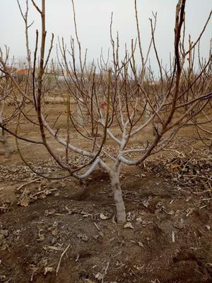 这是一张关于青皮无花果树苗的产品图片