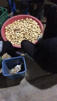 浙江衢州江山市红芽芋头 2cm以上