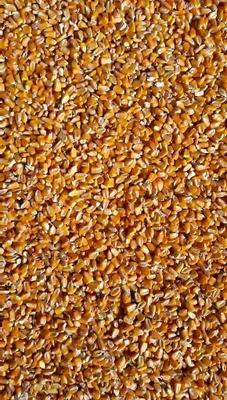 甘肃白银靖远县玉米干粮 霉变≤1% 杂质很少