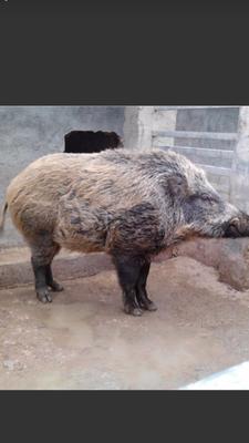 天津宝坻特种野猪肉