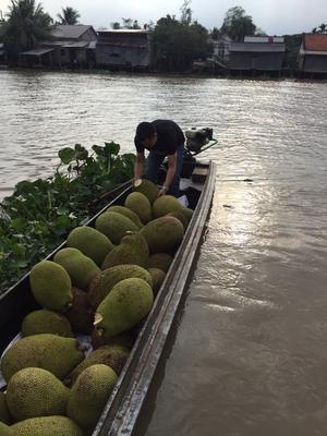 浙江嘉兴南湖区越南菠萝蜜 15斤以上