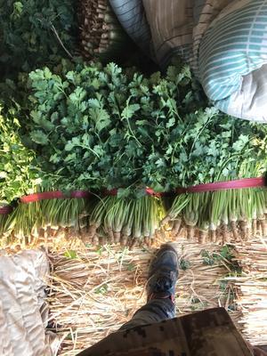 河北省唐山市丰南区铁杆青香菜 25~30cm