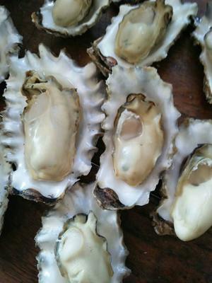 山东青岛黄岛区红岛牡蛎 野生 5-10只/公斤