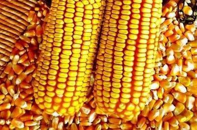 河北承德承德县玉米湿粮 霉变≤1% 杂质很少
