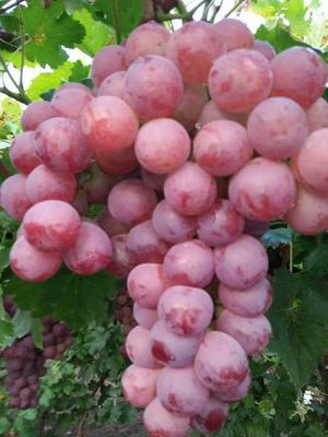 河北石家庄晋州市巨峰葡萄 5%以下 1次果 1.5- 2斤