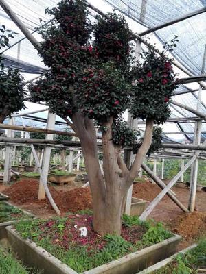 浙江金华婺城区贝拉大玫瑰 140cm以上