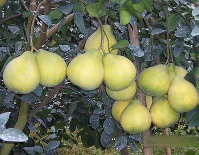 广西桂林恭城瑶族自治县沙田柚 1.5斤以上