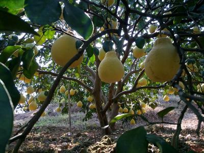 广西梧州藤县沙田柚 1.5斤以上