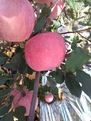 辽宁葫芦岛绥中县红富士苹果 纸袋 条红 80mm以上