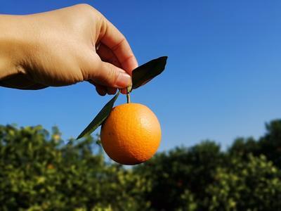 这是一张关于永兴冰糖橙 55 - 60mm 4两以下的产品图片