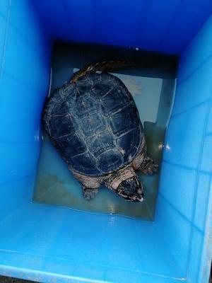 广东江门蓬江区鳄龟 50cm以上 6-8斤