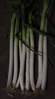 江苏南通通州区铁杆大葱 2cm左右 30~40cm 毛葱