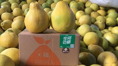 福建漳州平和县沙田柚 2斤以上