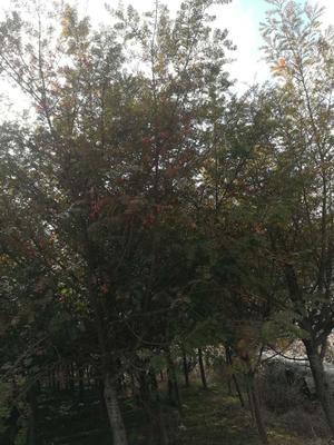 浙江温州永嘉县南方红豆杉 3.5米~5米