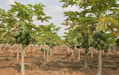海南海口美兰区红心木瓜 1.5 - 2斤