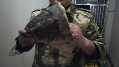 山东威海环翠区花鲢鱼头 野生 1-2.5公斤