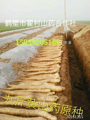 河南鹤壁淇滨区山药种子