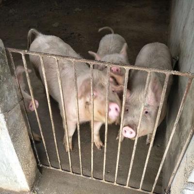 安徽六安金寨县土白猪 160斤以上