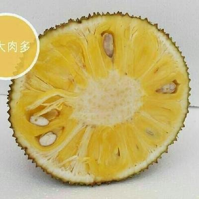 海南海口琼山区海南菠萝蜜 10-15斤