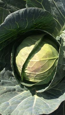 这是一张关于铁头圆包菜 0.5~1.0斤的产品图片