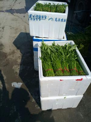 广东东莞东莞竹叶空心菜 35 ~ 40cm