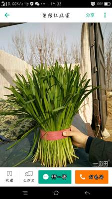 山东省济宁市邹城市平韭6号韭菜 头茬 20~30cm