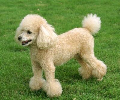 这是一张关于泰迪犬的产品图片